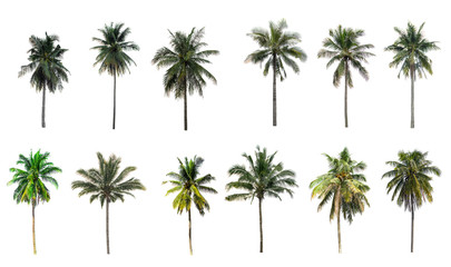 Beautiful coconut palm trees in the garden isolated on white background