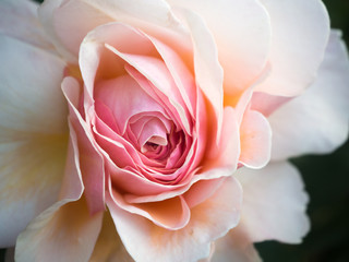 Close up of a delicate pale pink rose