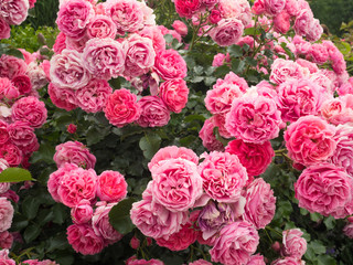 A day in the rose garden