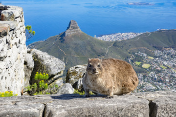 cape hyrax dassie table mountain