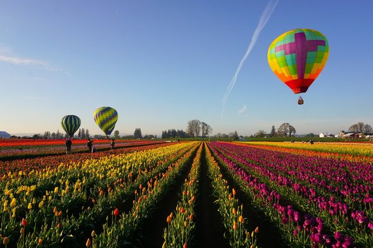 Colorful rows of tulips and hot air balloons in spring in the pacific northwest