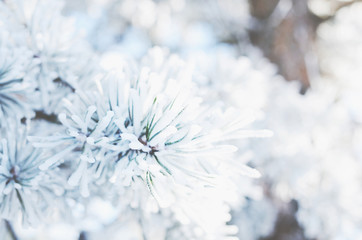 Fir tree twigs with snowflakes, winter background, close-up