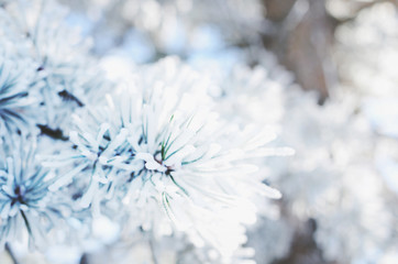 Pine tree twigs covered with snow, winter background