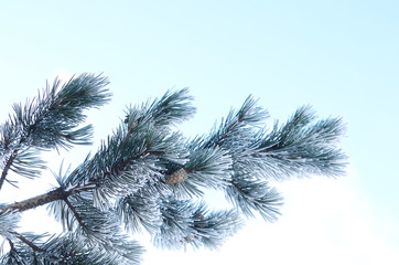 Evergreen pine tree branch covered with snow against blue sky