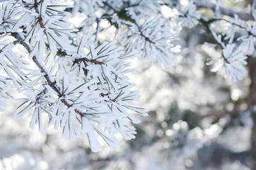 Pine tree twigs with snowflakes, winter background, close-up