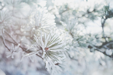 Pine tree twigs in snow, winter background