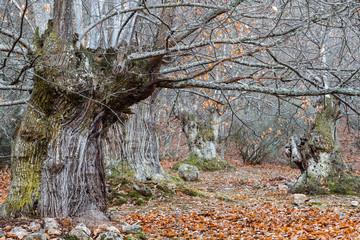 Bosque de castaños centenarios en otoño. Castanea sativa.