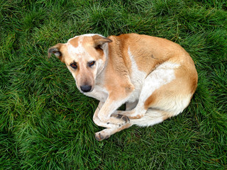 Yellow sad looking dog laying on green grass