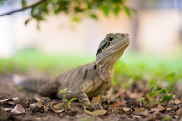 Eastern water dragon is a common reptile on the Gold Coast, Queensland.