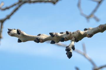 Budding Ash tree in spring.
