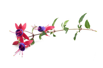 Fuchsia branch with flowers