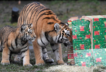 Tiger Maruschka and her cub open up a Christmas present in their enclosure in Hagenbecks zoo in Hamburg