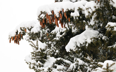Fir branches and cones on a snowy day. Natural winter background