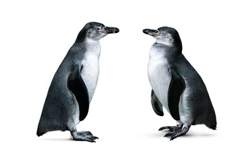 African penguins isolated