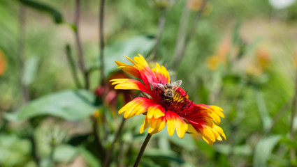 Red and yellow flower and a bee close up photography. Macro photo with insect isolated. Photography flower and honeybee details. Bees flying.