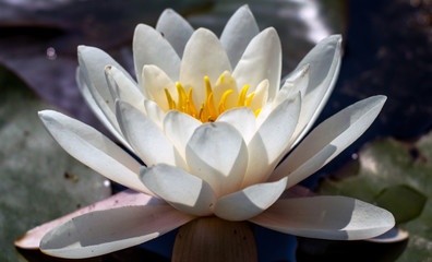 Lotus flower close up photo. Water lilly flower isolated macro photography. White flower in a pond.