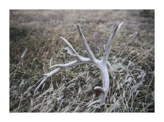 Antler in the grass