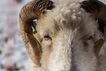 Schafe und Lämmer in einer Winterlandschaft