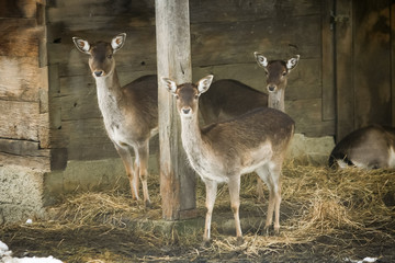 Group of roe deers in captivity
