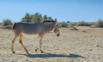 Somali wild donkey (Equus africanus) is the forefather of the domestic asses. This species is extremely rare both in nature and in captivity.