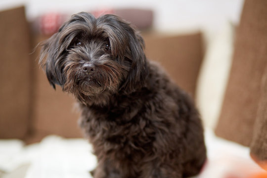 Black havanese dog sitting on couch