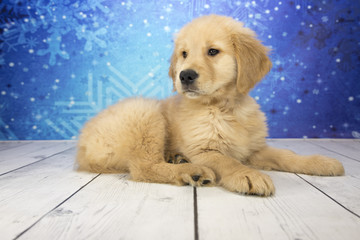 Golden Retriever with snowflake background