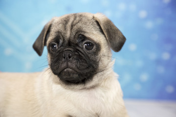 Pug with snowflake background