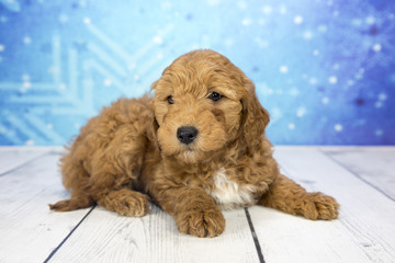 Mini Goldendoodle with snowflake background