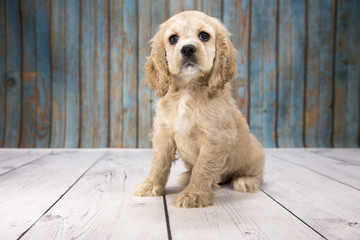 Cocker Spaniel with blue wood background