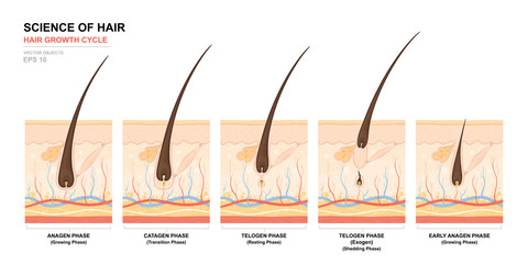 Anatomical training poster. Hair growth phase step by step. Stages of the hair growth cycle. Anagen, telogen, catagen. Skin anatomy. Cross section of the skin layers. Medical vector illustration Wall mural