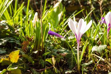 White crosus on grass