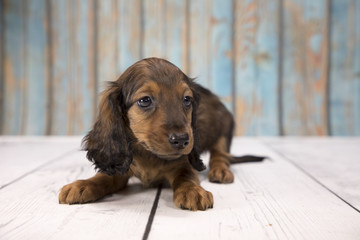 Miniature Dachshund with blue wood background