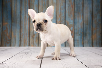 French Bulldog with blue wood background