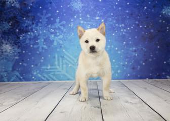 Shiba Inu with snowflake background
