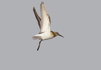 A dunlin in winter plumage in flight isolated on grey blurred background