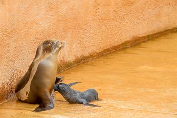Baby Seal nursing