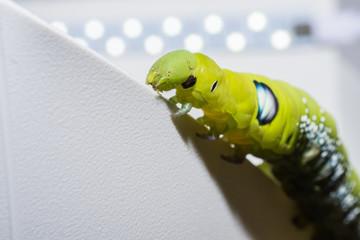 Green worm.