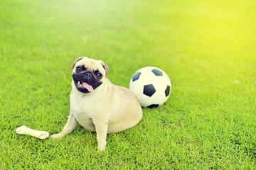 Cute fat Pug playing alone in garden