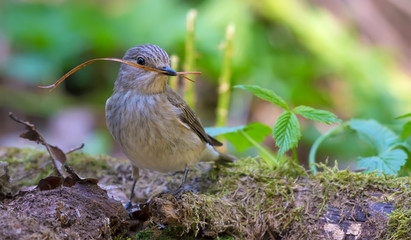 Spotted Flycatcher with a little twig in its beak sits on the ground