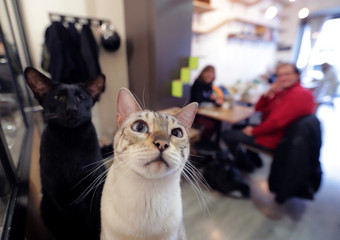"Jaya, a Bengal Snow, and Atys, an Oriental, are seen at ""La Ronronnerie"", a cat cafe in Nice"