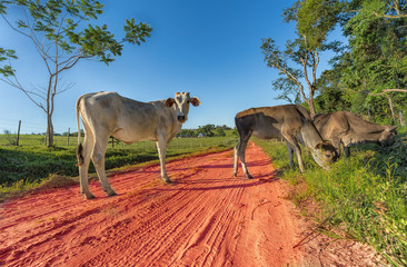 Poster South America Country Free-roaming cows in Paraguay with its typical red sand paths.
