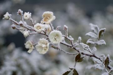 neige hiver fleurs roses givre