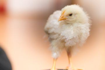 Weisses Hühner Küken