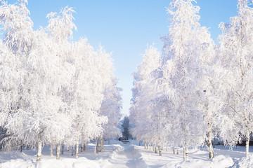 White trees alley