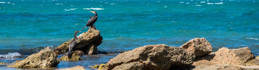 A group of big black cormorants on the rocks at sea shore. Large seabird Phalacrocorax carbo, Вlack sea, Russia