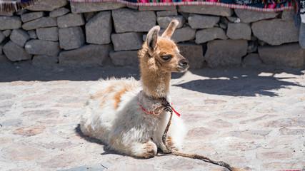 Peruvian alpaca in Andes, Peru