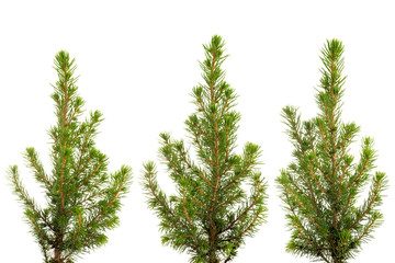 Three views of small fir tree isolated
