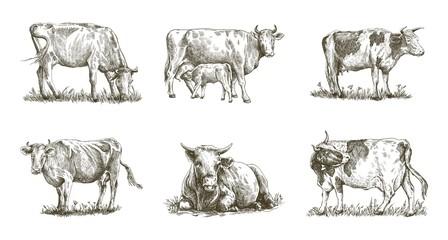 breeding cow. animal husbandry. livestock