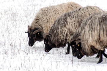 Sheep are grazing on the snow. Snowy pasture on farm.