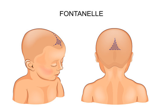 fontanel in the infant